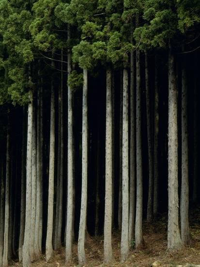 aso-fujita-japanese-cedar-forest-akita-prefecture-japan_a-l-8661259-14258389
